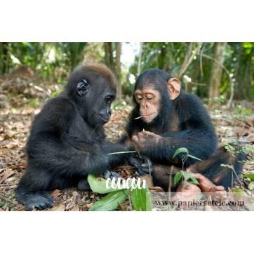 """Carte """"Coucou"""" Bébés Gorille et Chimpanzé"""