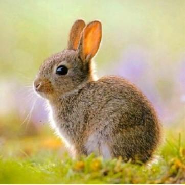 Carte de p ques carte carr e jeune lapin de garenne - Cuisiner un lapin de garenne ...